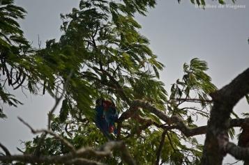 arara vermelha arara caninde mato grosso