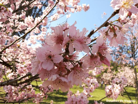 cerejeira sakura bosque das cerejeiras parque do carmo sao paulo