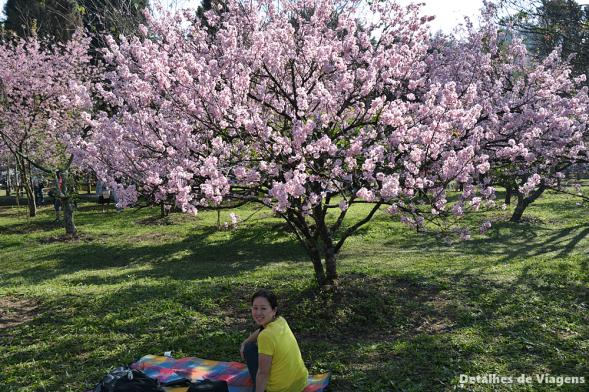 hanami cerejeiras sakura
