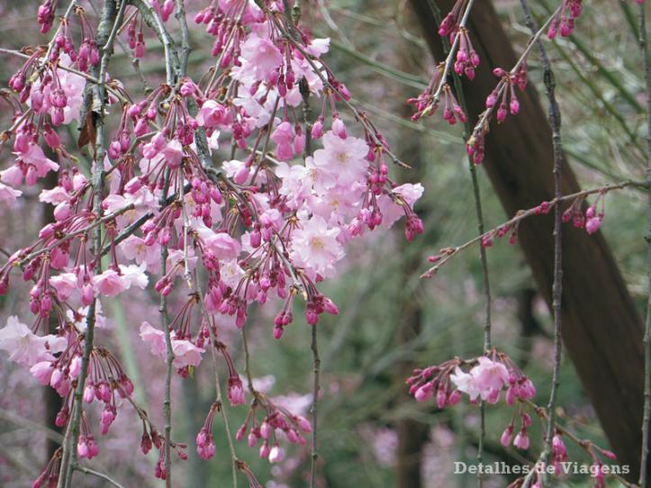 sakura-cerejeira-rosa-kyoto-quioto-japao-relatos-viagem-roteiro