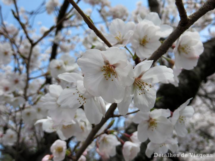 sakura-cerejeiras-florada-cerejeiras-japao-relatos-viagem-roteiro